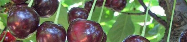 Описание сорта вишни Богатырка