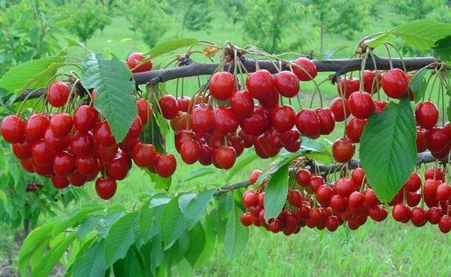 Описание сорта вишни Уральская Черешенка, регионы для выращивания, посадка и уход