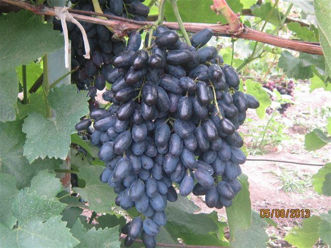 Описание винограда Кодрянка