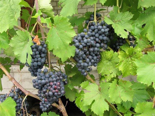 Описание винограда Ранний Магарач