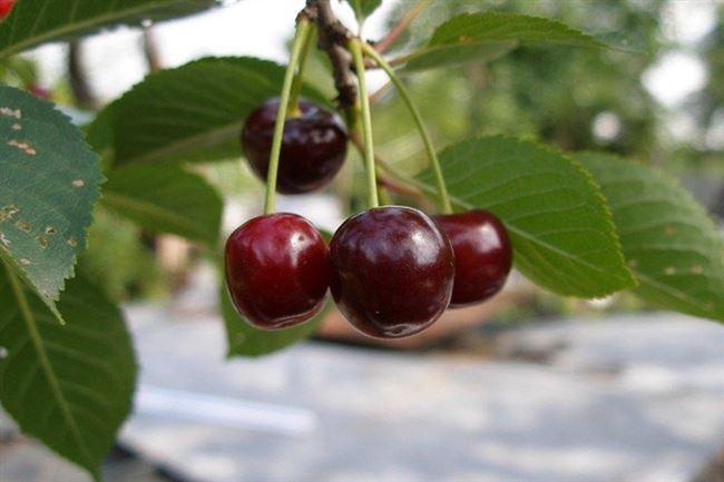 Описание вишни Брюнетка