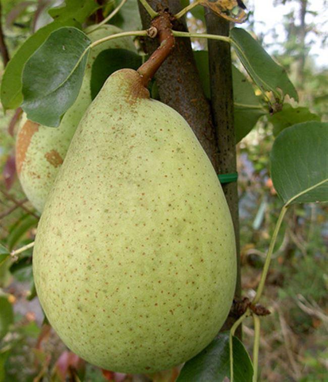 Опыление и урожайность сорта груши «Кюре»