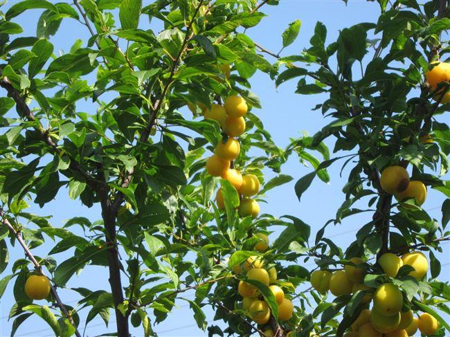 Опыление, период цветения и сроки созревания