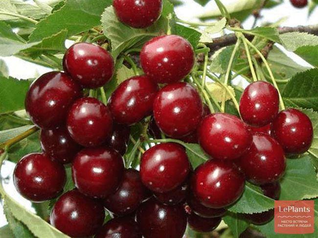 Опылители вишни Богатырка