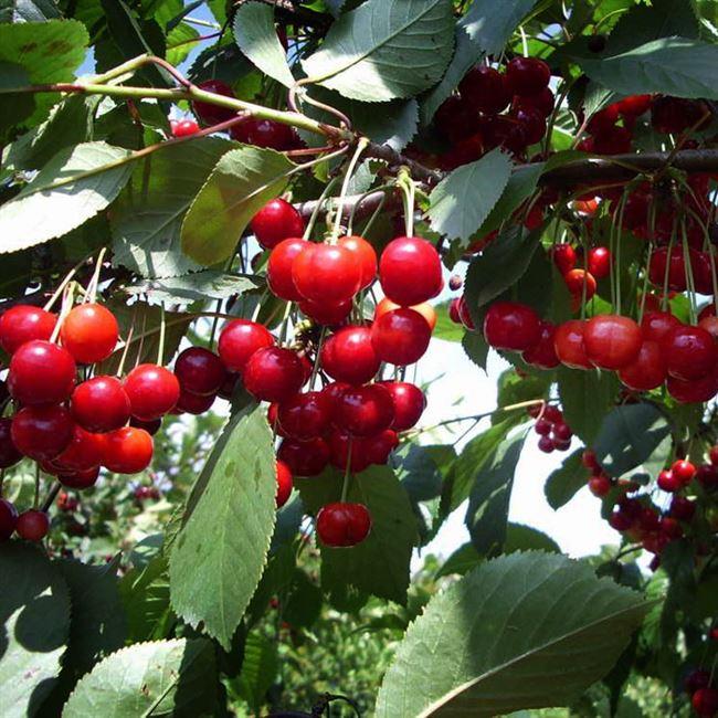 Опылители вишни Быстринка