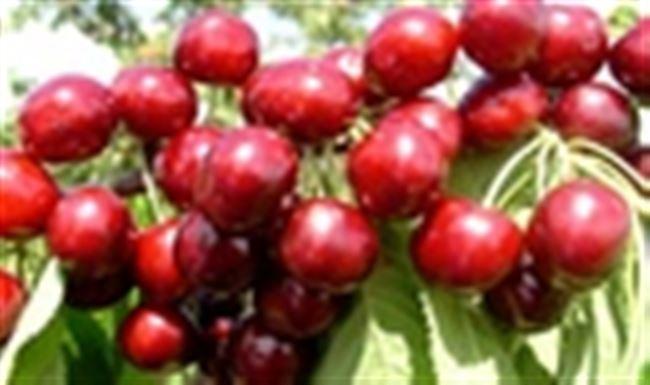 Опылители вишни Восторг
