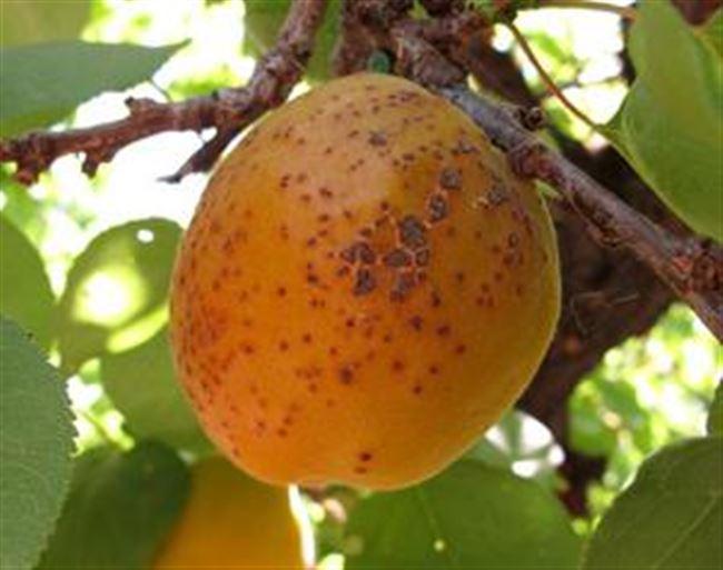 Основные болезни абрикоса