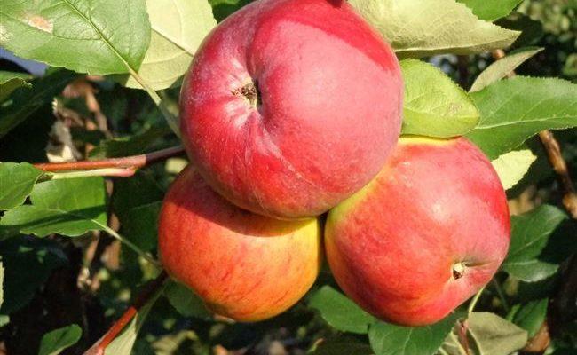 Основные характеристики и особенности выращивания яблони сорта Беркутовское
