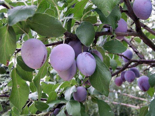 Основные плюсы и минусы плодового сорта