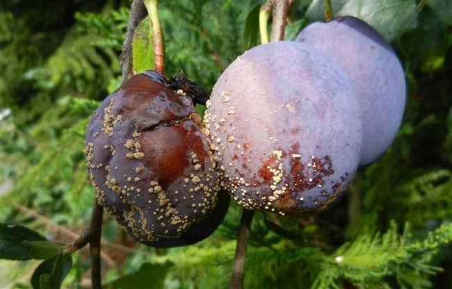 Основные признаки плодовой гнили