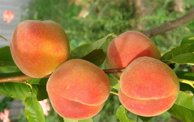 Особенность употребления плодов