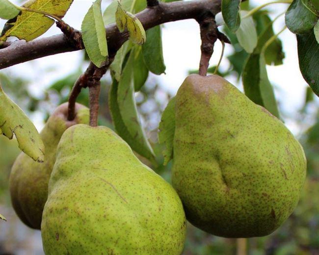 Особенности и характеристика груши Пакхам