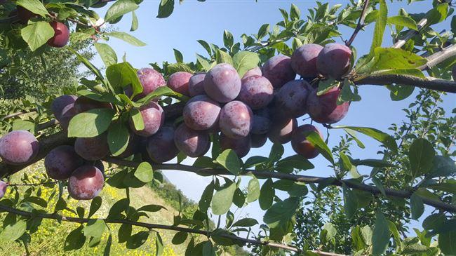 Особенности и характеристика сорта сливы Кабардинка