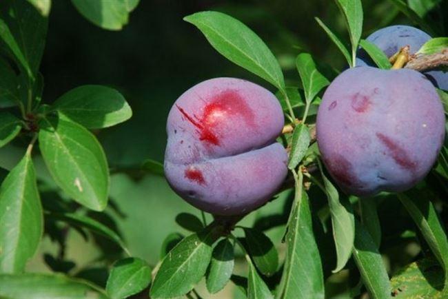 Особенности плода