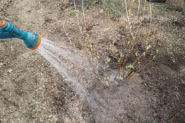 Особенности полива кустарников в жару