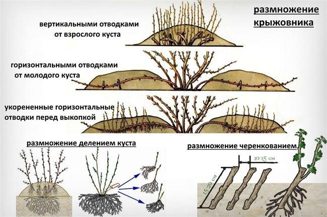 Особенности размножения крыжовника