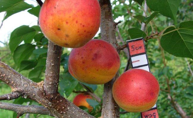 Особенности сорта абрикоса Снегирёк