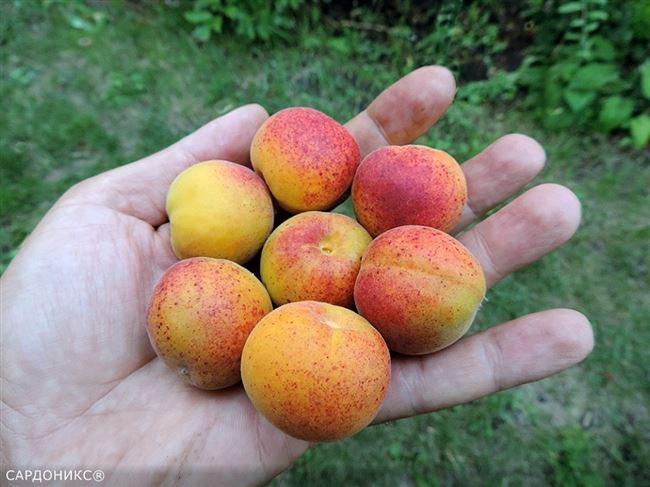 Особенности ухода за абрикосом сорта Сардоникс
