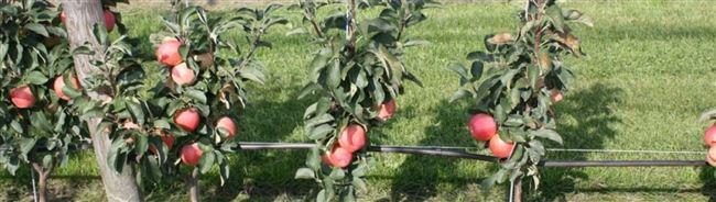 Особенности ухода за колоновидной яблоней