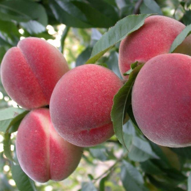 Особенности ухода за персиком