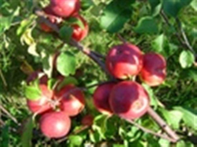 Особенности выращивания Лобо