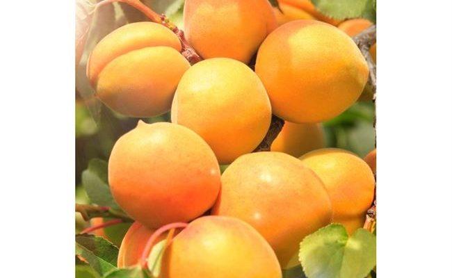 Особенности выращивания абрикоса сорта Хабаровский и ухода за ним