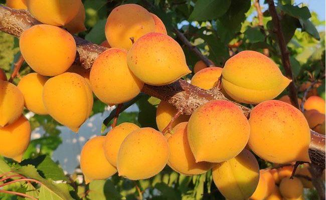 Особенности выращивания и ухода за абрикосом Голд Рич