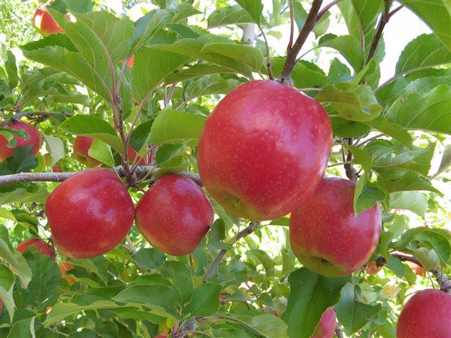 Особенности выращивания яблони