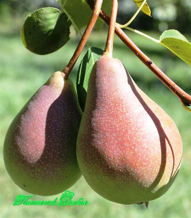 Отличительные характеристики плодов