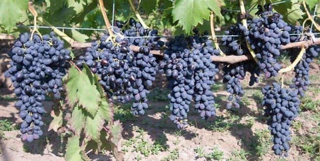 Отменный виноград Надежда АЗОС описание сорта, его характеристики и фото
