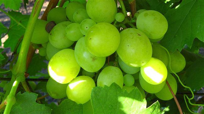 Отрицательные отзывы о винограде Кеша.