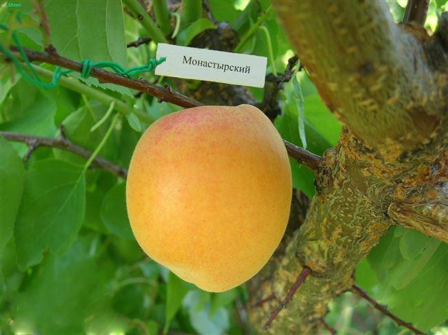 Отзывы о сорте абрикоса Монастырский