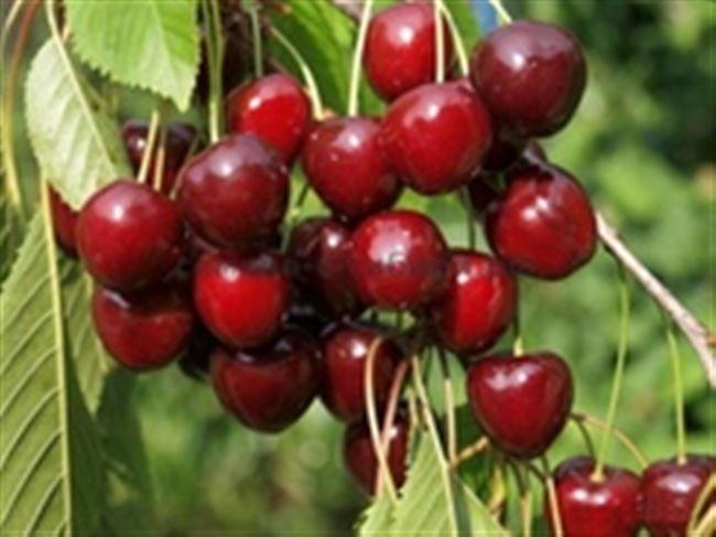 Отзывы о вишне сорта Уральская Рубиновая