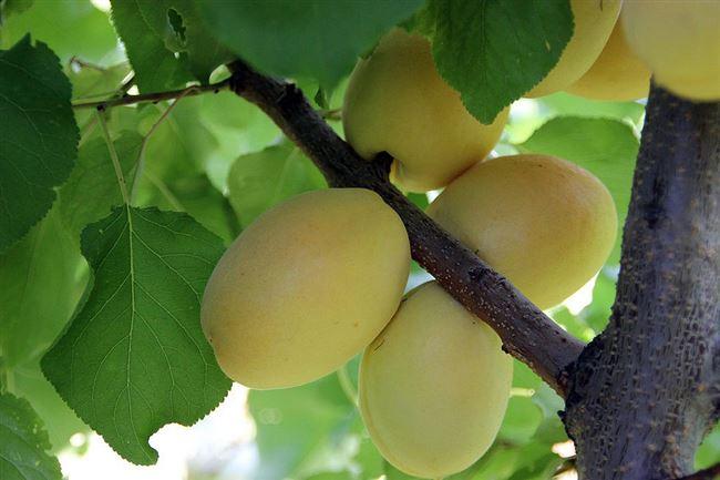 Отзывы об абрикосе Шалах