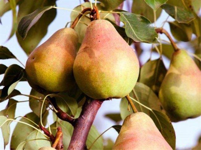 Отзывы садоводов о груше Гера
