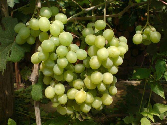 Отзывы виноградарей