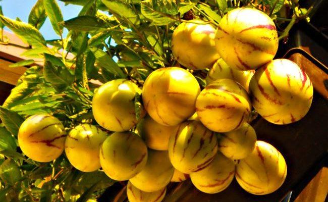 Пепино, что это за фрукт, выращивание дынной груши в домашних условиях