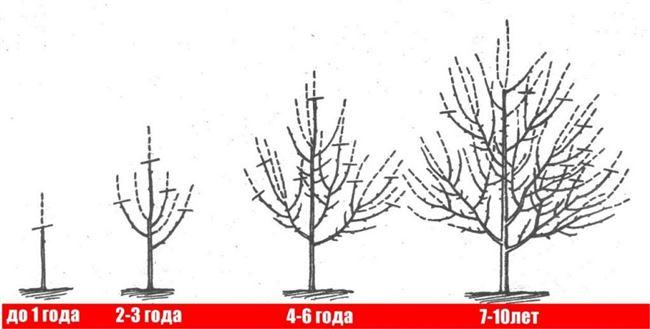 Пересадка дерева двух- и трехлетнего возраста