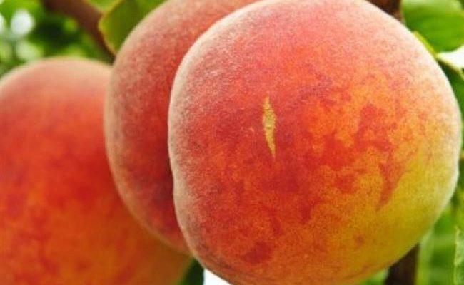 Персик (сорт 'Донецкий ранний')