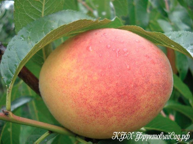 Персик золотая москва описание сорта фото отзывы