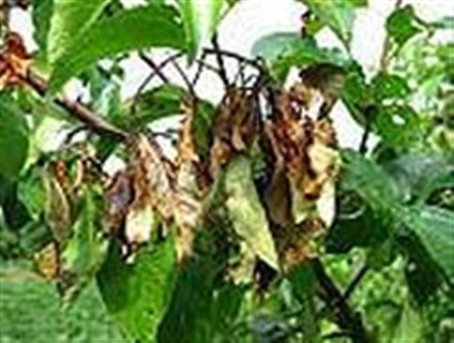 План лечения яблони от бактериального ожога