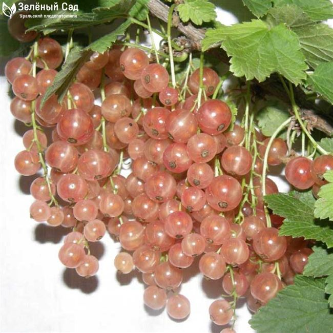 Плюсы и минусы розовой смородины