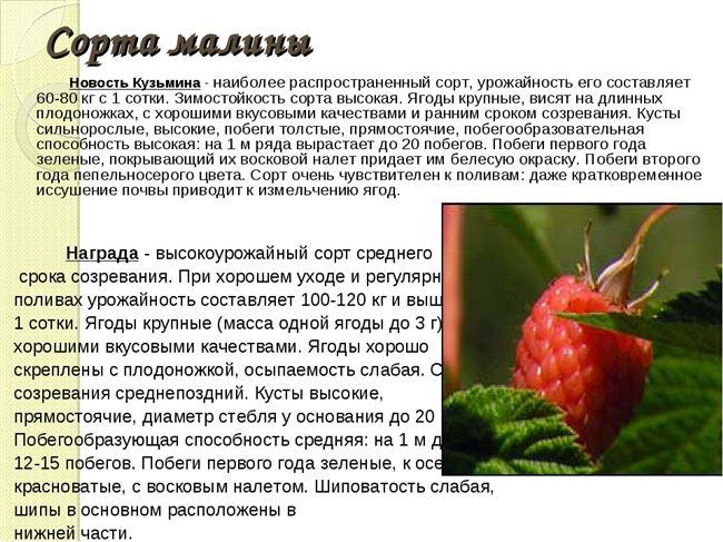 Плюсы и минусы сорта Новость Кузьмина
