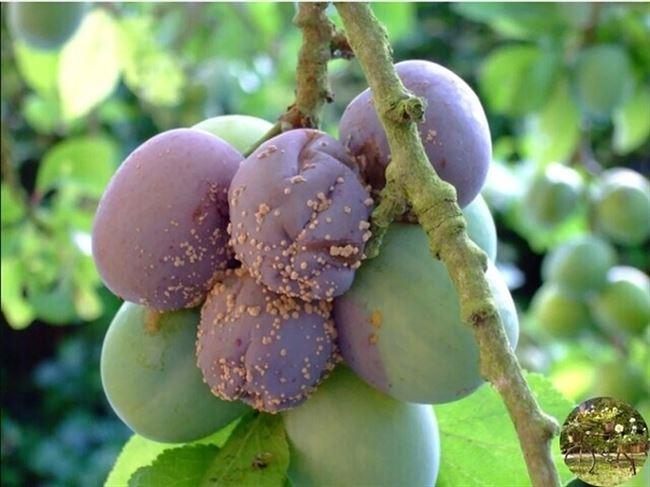 Плодовая