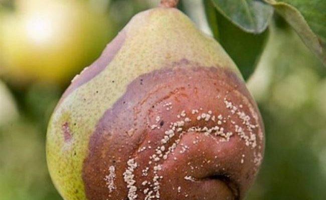 Плоды груши трескаются и гниют на дереве: 5 причин, почему чернеют на ветках не успев созреть