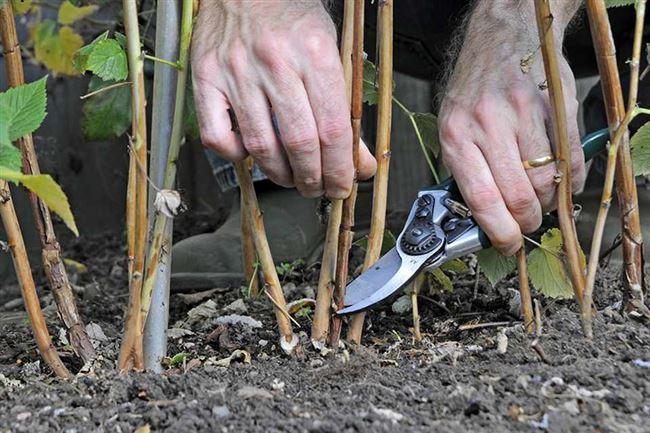 Подготовка малины к зимеосенью