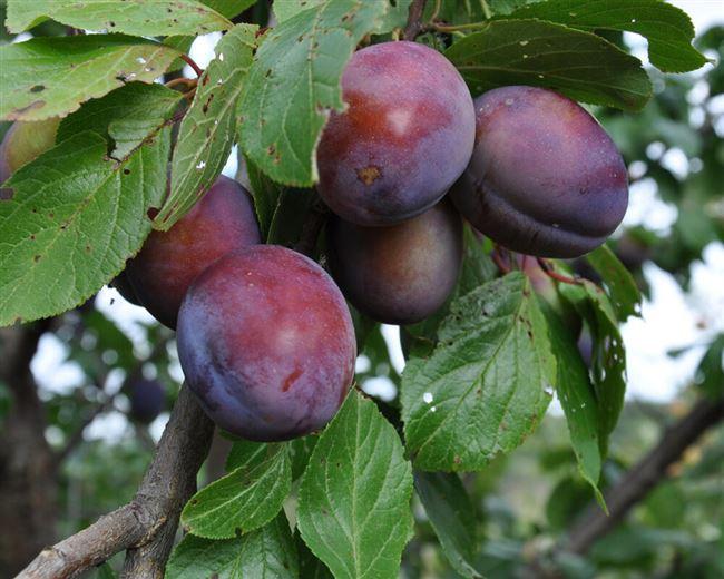 Подкормка сливовых деревьев