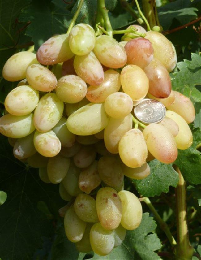 Подкормки винограда