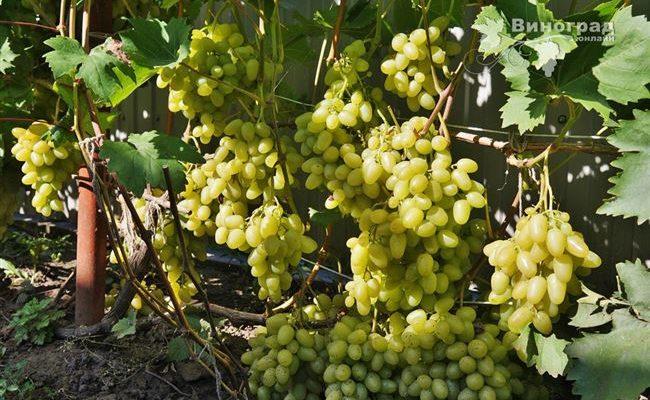 Подробная характеристика и описание сорта винограда «аркадия»