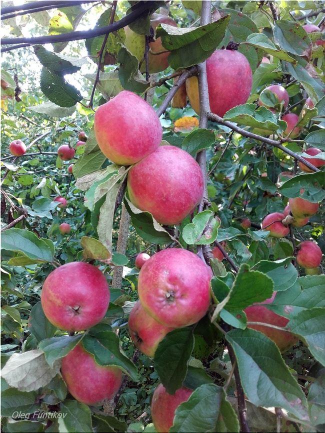 Подробное описание сорта яблони Звездочка
